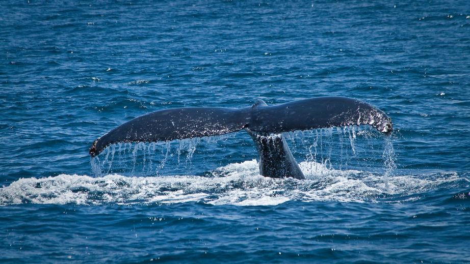 Japón desobedece la prohibición de cazar ballenas en el Antártico