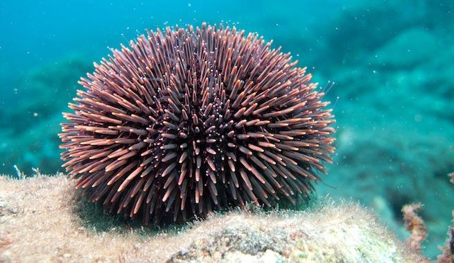 La veda de la pesca de merluza beneficia a los erizos, las estrellas de mar y las esponjas