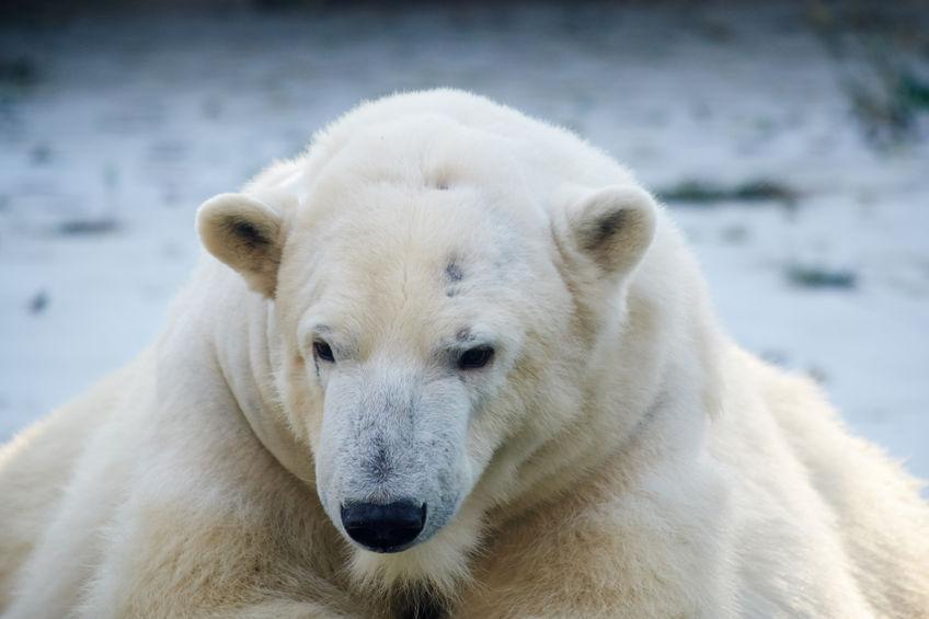 Los osos polares pueden subsistir pese al deshielo