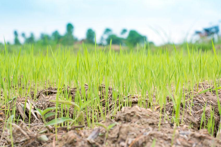 ¿Se puede ahorrar agua en el cultivo de arroz?