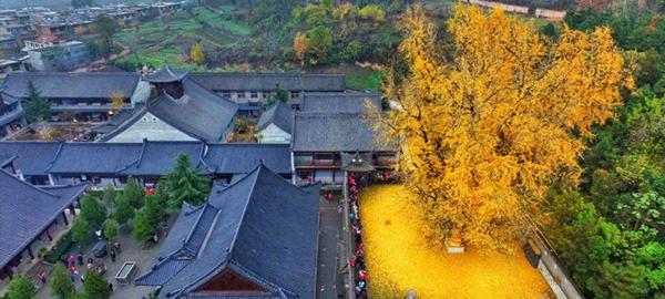 Empiezan a caer las hojas del milenario árbol chino de las montañas de Zhongnan