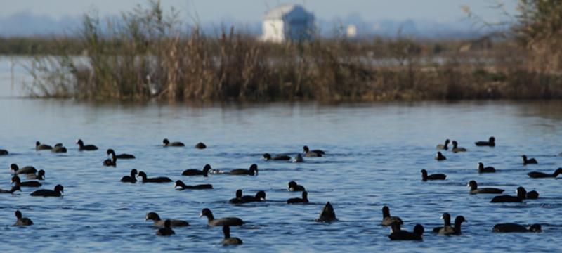 La inundación invernal con agua de calidad favorece las aves acuáticas de l'Albufera