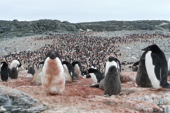 Crece la población de pingüinos de Adelaida por el deshielo antártico