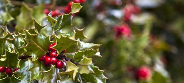 El acebo, una planta protegida que vuelve a casa por Navidad