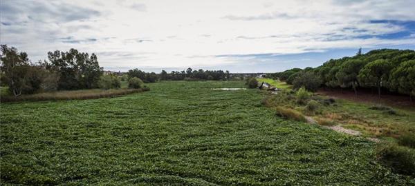 El río Guadiana, invadido por la planta camalote a su paso por Extremadura