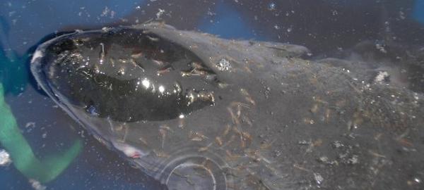 Estudian tratamientos con agua dulce contra el piojo de mar