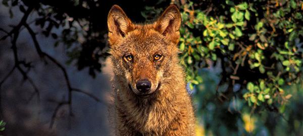 Adopta un lobo ibérico