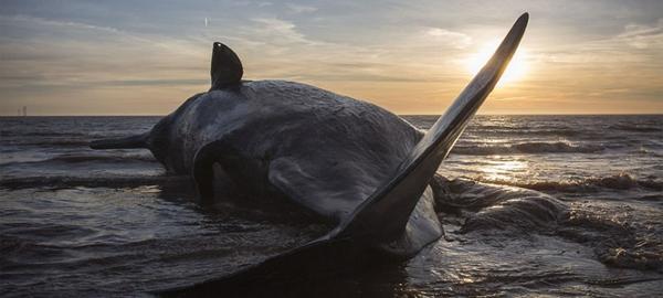 Ballenas muertas en las costas de Inglaterra
