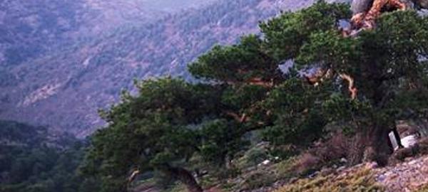 El cambio climático aumenta la sincronización del crecimiento de los árboles