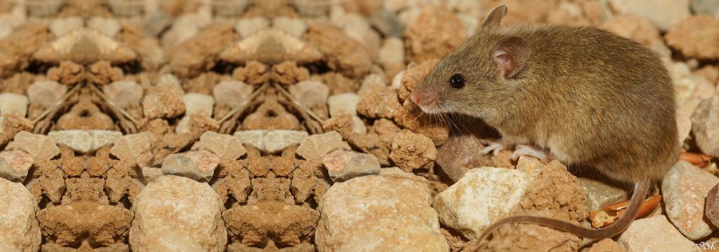 El ratón moruno, detector de los contaminantes en Doñana