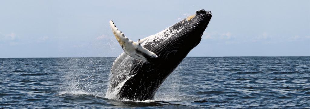 España quiere crear la primera autopista de cetáceos en el mundo