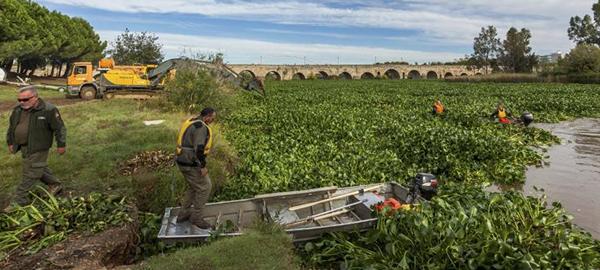 La Confederación Hidrográfica del Guadiana alerta que la próxima primavera será dura por el camalote