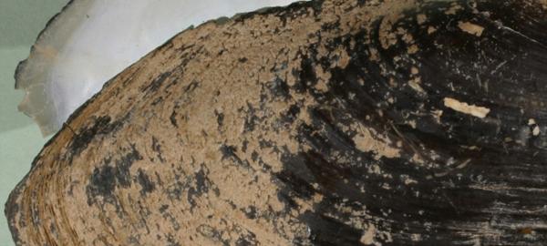 Las almejas de agua dulce, claves en los hábitos acuáticos