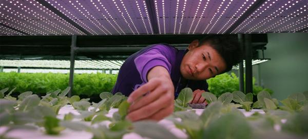 Los japoneses crean un método para producir 3.000 lechugas al día