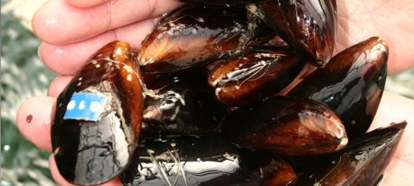 Los moluscos podrían tener propiedades descontaminantes