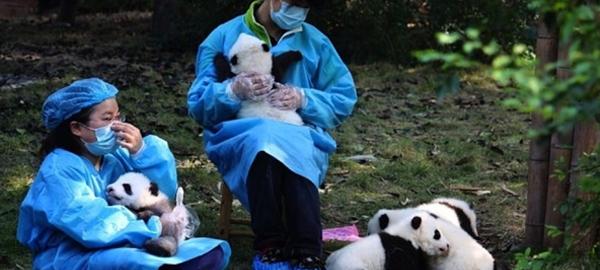 Se buscan personas para abrazar osos panda