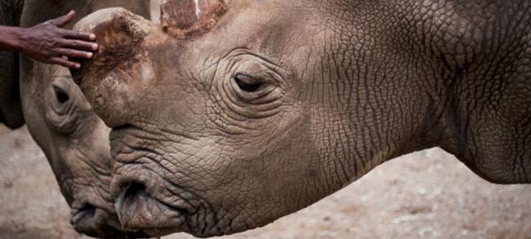 Se teme por la posible extinción del rinoceronte blanco