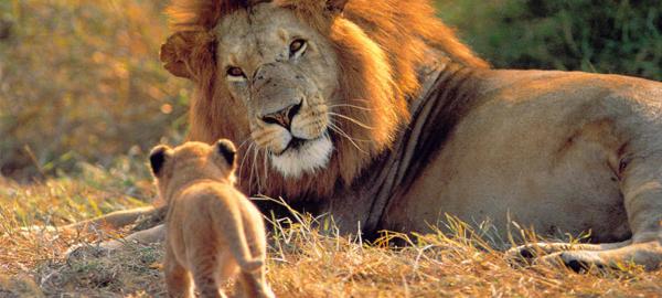 Los leones en peligro de extinción