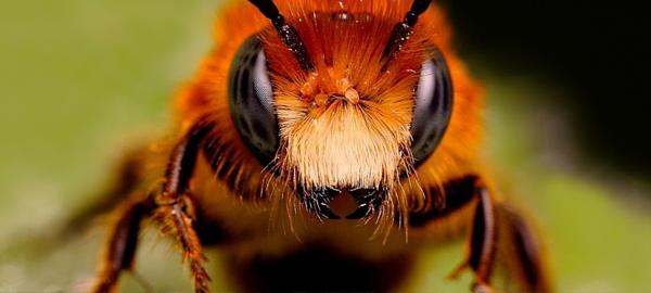El pesticida que extingue a las abejas