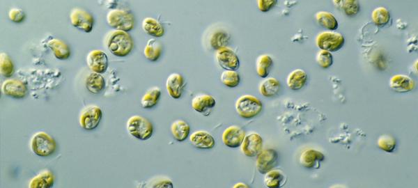 Investigadores de la Universidad de Vigo buscan la forma de producir pélets con microalgas