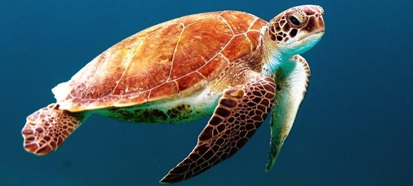 Las tortugas marinas empiezan a llegar a las playas tropicales