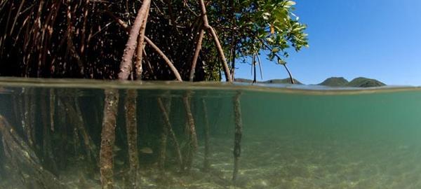 Un estudio determina que los manglares de baja california capturan altos niveles de carbono de la atmósfera