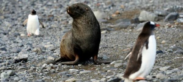 El cambio climático hace peligrar el alimento base de los pingüinos de la Antártida