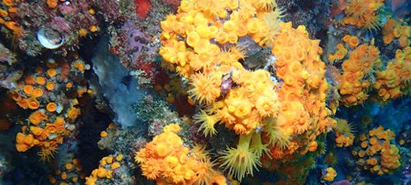El buceo recreativo afecta al coral de la costa de Granada