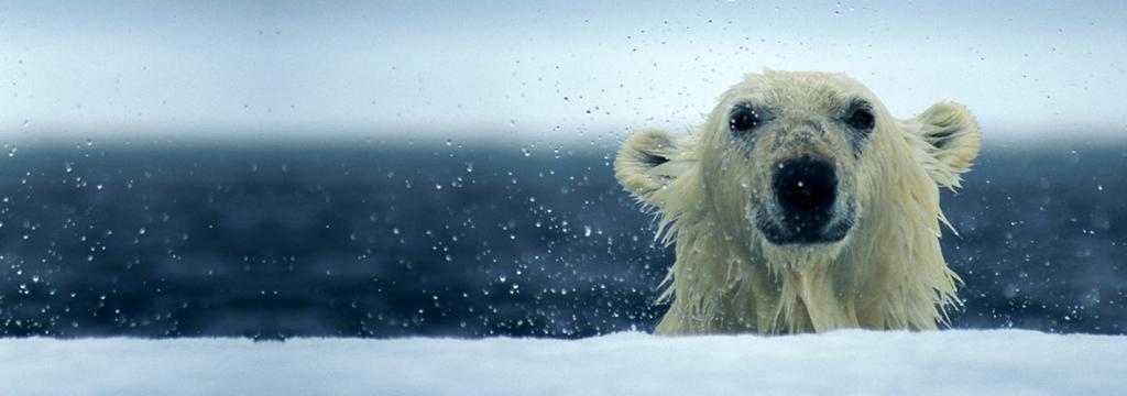 Los osos polares cada vez más nadadores por el deshielo del Ártico