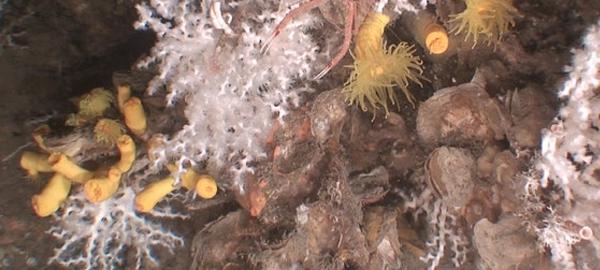 Se descubren comunidades de corales en las costas de Catalunya