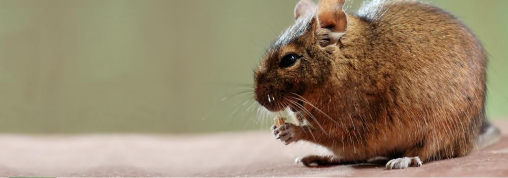 Extinguida la primera especie de mamífero a causa del cambio climático
