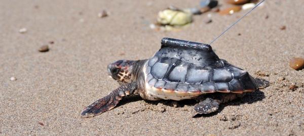 El CSIC devuelve doce tortugas a la playa almeriense en la que nacieron