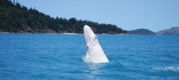 Avistan una ballena blanca en la costa este de Australia