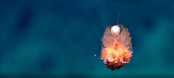La NOAA fotografía a las criaturas más raras del océano