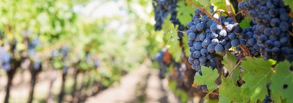 Los efectos del cambio climático sobre los viñedos españoles