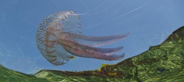 Un proyecto para reducir el impacto de las medusas en el Mediterráneo