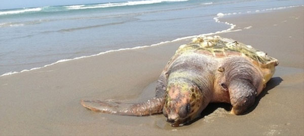 2015 registra 245 varamientos de cetáceos y tortugas marinas