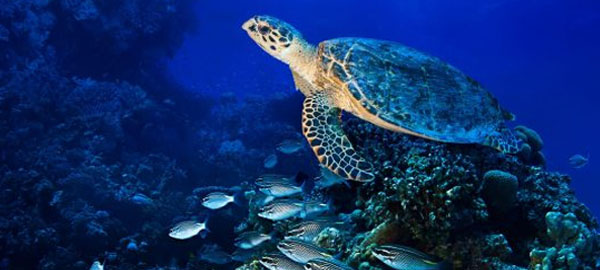 Avanza propuesta para crear primera reserva de tortugas marinas en Arica