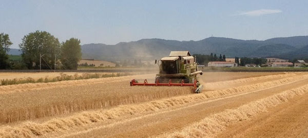 La sequía arruina la cosecha de cereal y lleva al límite a los ganaderos
