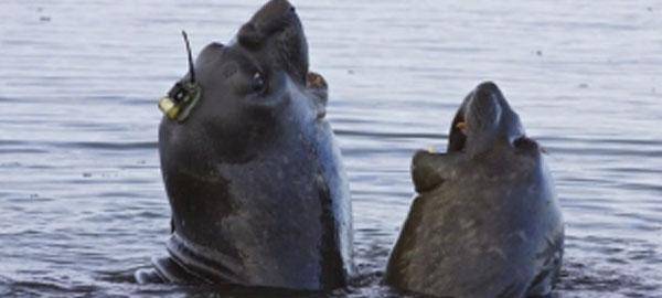 Los elefantes marinos, claves en el estudio del deshielo de la Antártida