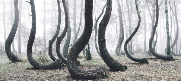 Un misterioso bosque polaco con 400 árboles doblados