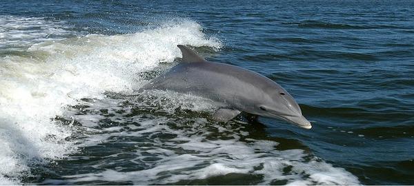 Un estudio catalogará las diferentes especies de cetáceos en Baleares