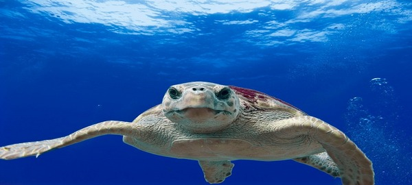 Canarias, lugar predilecto de las tortugas bobas