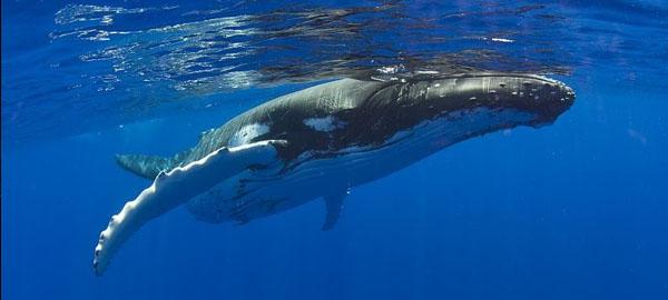 gran-parte-de-las-poblaciones-de-ballenas-jorobadas-ya-no-estan-en-peligro-de-extincion