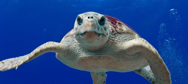 La contaminación es más peligrosa para las tortugas que el cambio climático