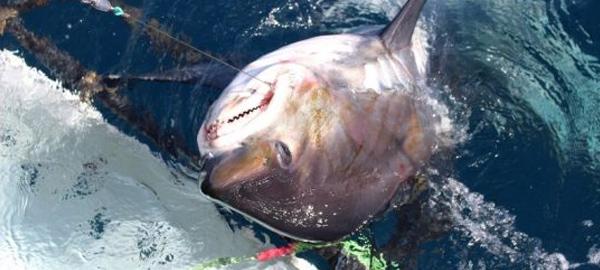Preocupación por la conservación de tiburones y rayas