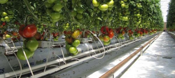 Cultivan tomates en el desierto gracias a la energía solar