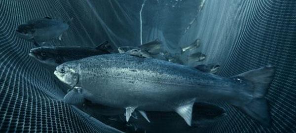 El efecto del alto CO2 en los peces en el ambiente natural