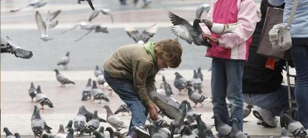 Barcelona será la primera gran ciudad en controlar las palomas con anticonceptivos