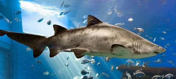 Más de la mitad de los tiburones del Mediterráneo están en peligro de extinción